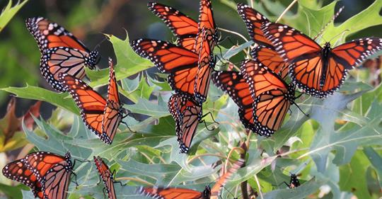 A bunch of monarch butterflies flying around flowers