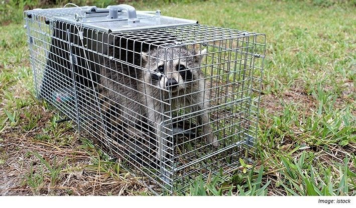 A wild raccoon caught in an outdoor cage