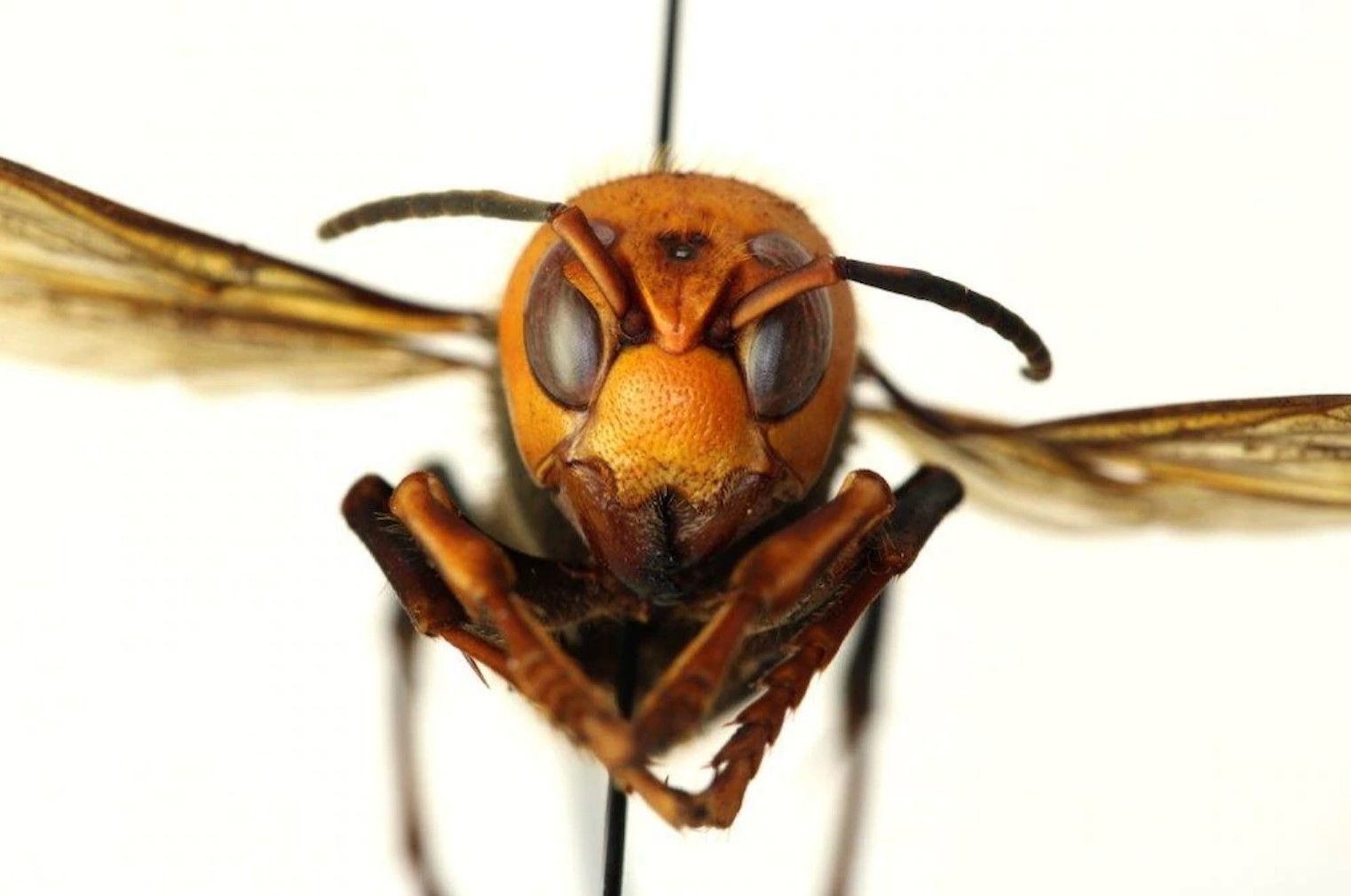 An asian murder hornet