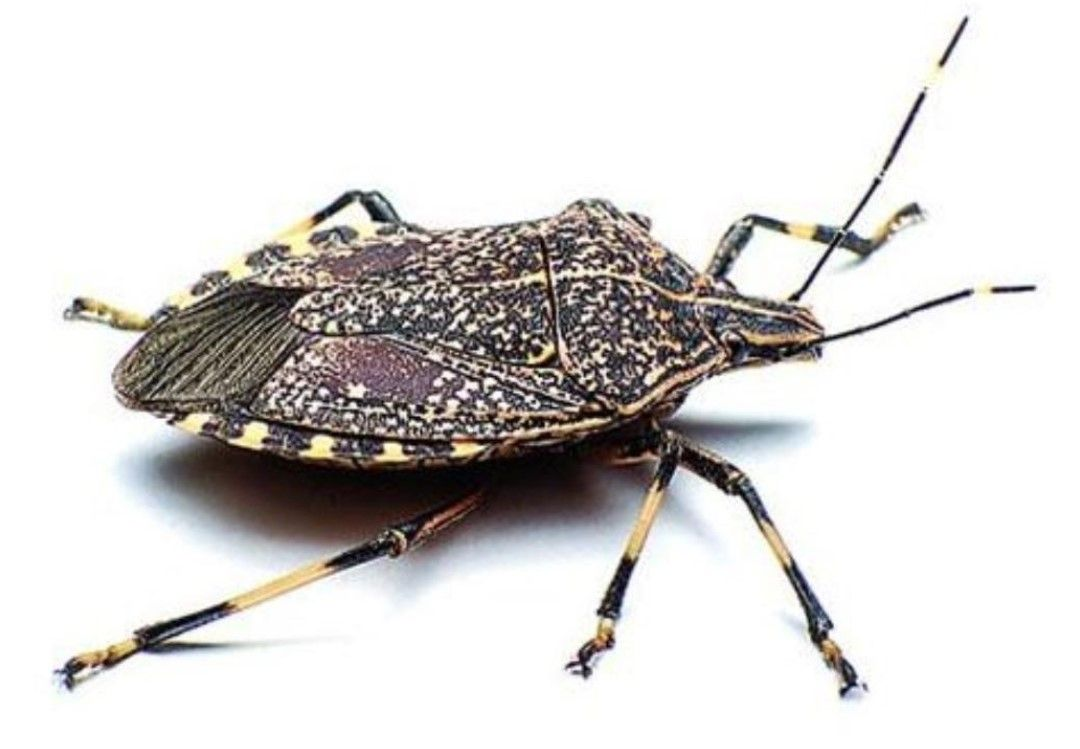Close up of a stink bug