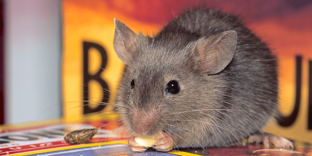 House mouse eating crumbs