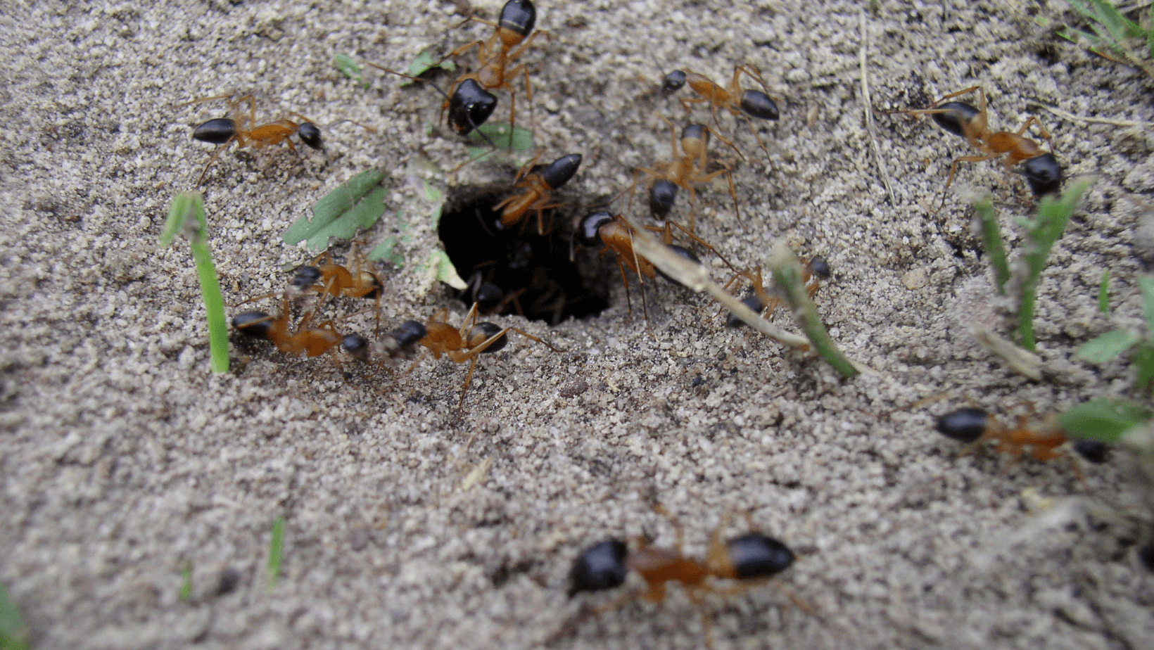 image of fire ants in their mound.