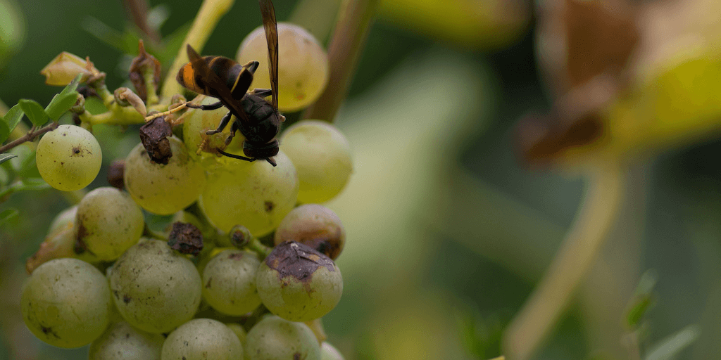 hornet on grapes