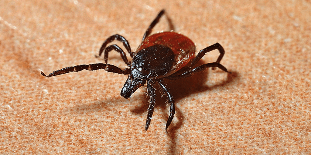 image of a tick